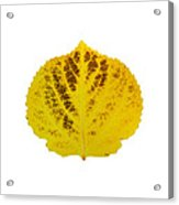 Brown And Yellow Aspen Leaf 3 Acrylic Print