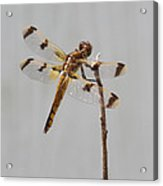Brown And Yellow Dragonfly On A Twig Acrylic Print