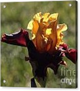Brown And Yellow Iris Acrylic Print