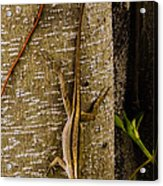 Brown Anole Lizard In Florida Acrylic Print