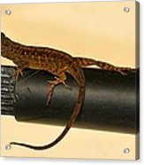 Brown Anole On Pipe Acrylic Print