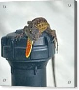 Brown Anole With Dewlap Acrylic Print