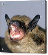 Brown Bat Eptesicus Fuscus Acrylic Print