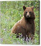 Canadian Bear Acrylic Print