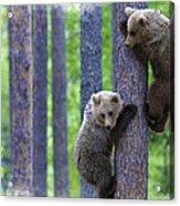 Brown Bear Climbing Lesson Acrylic Print