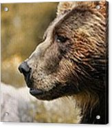 Brown Bear Golden Morning Acrylic Print
