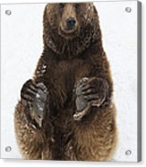 Brown Bear Holding Its Paws Germany Acrylic Print