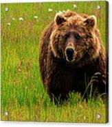 Brown Bear, Lake Clark National Park Acrylic Print