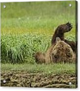Brown Bear Picture 37 Acrylic Print