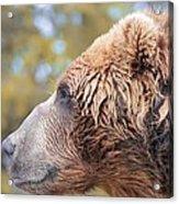 Brown Bear Portrait In Autumn Acrylic Print