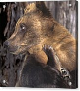 Brown Bear Tackles An Itchy Foot Endangered Species Wildlife Rescue Acrylic Print