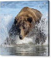 Brown Bear, Ursus Arctos, Fishing Acrylic Print