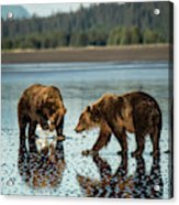 Brown Bear, Ursus Arctos, Walking Acrylic Print
