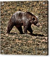 Brown Bears Acrylic Print by Angel Jesus De la Fuente