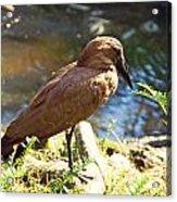 Brown Bird Acrylic Print