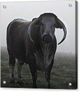 Brown Bull Acrylic Print