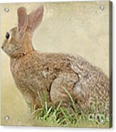 Brown Bunny Acrylic Print