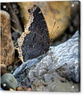 Brown Butterfly Cuyahoga Valley Acrylic Print