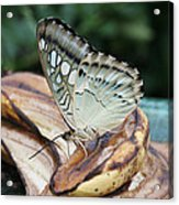 Brown Clipper Butterfly #3 Acrylic Print