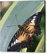 Brown Clipper Butterfly #4 Acrylic Print
