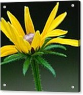 Brown-eyed Susan Acrylic Print