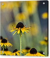Brown Eyed Susans On Yellow And Green Acrylic Print