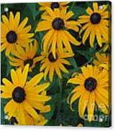Brown Eyed Susans Acrylic Print