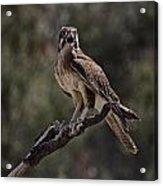 Brown Falcon V2 Acrylic Print