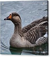 Brown Feathered Goose Acrylic Print