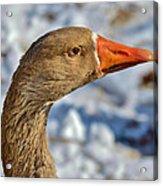 Brown Goose Acrylic Print by Thomas  MacPherson Jr
