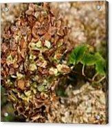 Brown Green Hydrangea Acrylic Print