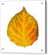 Brown Green Orange Red And Yellow Aspen Leaf 3 Acrylic Print