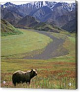 Brown Grizzly Bear In Denali National Acrylic Print