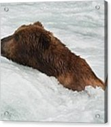 Brown Grizzly Bear Swimming  Acrylic Print