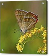 Brown Hairstreak Butterfly Acrylic Print by Science Photo Library