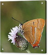 Brown Hairstreak Acrylic Print