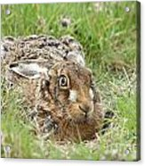 Brown Hare Acrylic Print