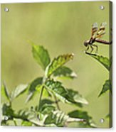 Brown Hawker Dragonfly Acrylic Print
