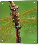 Brown Hawker Dragonfly Switzerland Acrylic Print