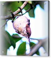 Brown-headed Nuthatch 9173-006 Acrylic Print
