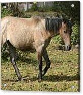 Brown Horse Walking Through A Pasture Acrylic Print