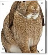 Brown Lop-earred Rabbit Isolated On White Acrylic Print