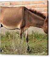 Brown Mule In Cotacachi Acrylic Print
