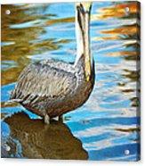 Brown Pelican Along The Bayou Acrylic Print