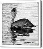 Brown Pelican - Black And White Acrylic Print