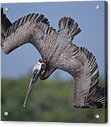 Brown Pelican Diving Academy Bay Acrylic Print