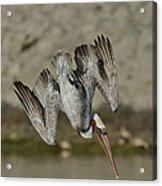 Brown Pelican Diving Acrylic Print