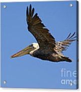Brown Pelican Flight Acrylic Print