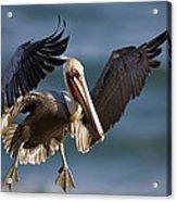 Brown Pelican Flying California Acrylic Print