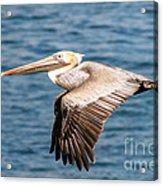 Brown Pelican Flying Acrylic Print